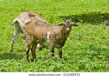 Two goat eat green grass in the field.