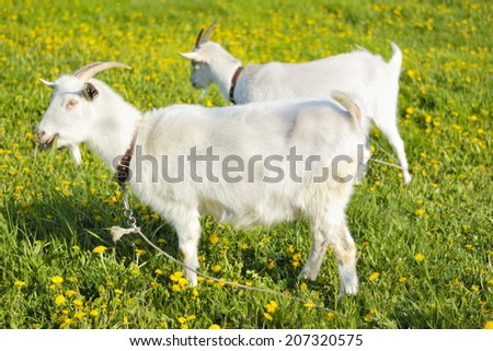 two goats on the pasture