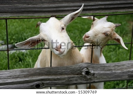 Two goats with heads thru fence - stock photo
