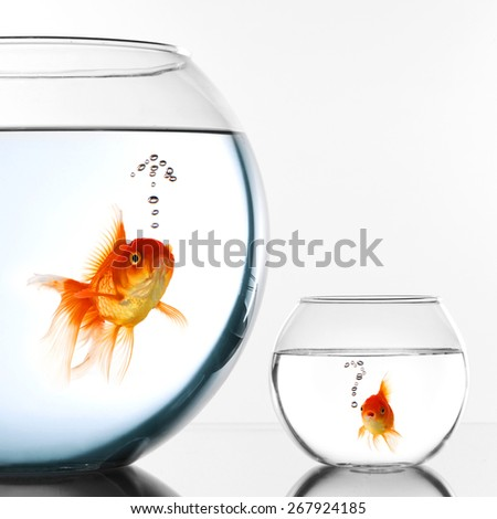 Two Gold fish in aquariums thinking about escape - stock photo