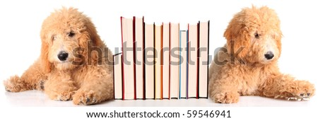 Two golden doodle puppies as bookends. - stock photo