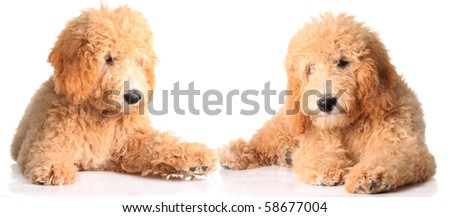 Two golden doodle puppies isolated on white. - stock photo