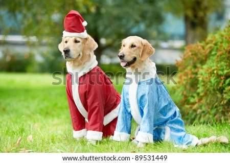 two golden retriever dogs in santa claus new year clothing sitting outdoors
