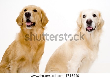 Two golden retriever dogs, one pale and one more golden