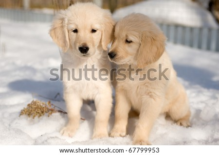 Two golden retriever puppies in snow