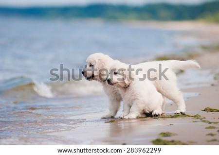 two golden retriever puppies on a beach - stock photo
