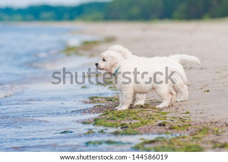 two golden retriever puppies on the beach - stock photo