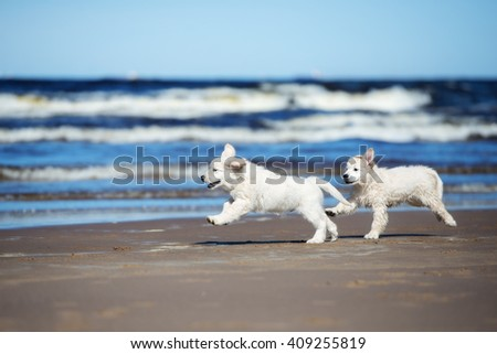 two golden retriever puppies running on a beach - stock photo