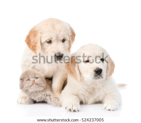 Two golden retriever puppies with kitten. focus on cat. isolated on white background
