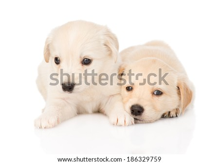 two golden retriever puppy dog lying together. isolated on white background - stock photo
