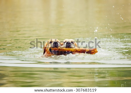 Two golden retrievers dogs are swimming with stick. - stock photo