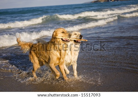 Two Golden Retrievers playing with stick - stock photo
