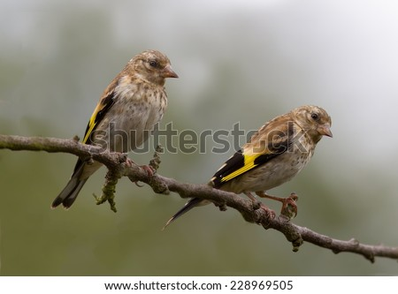 Two Goldfinch perched on a tree. - stock photo
