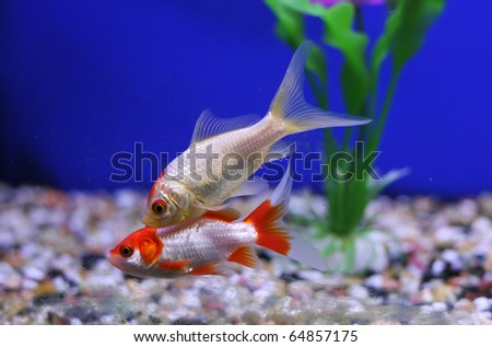 Two goldfish in an aquarium with greenery and a blue background - stock photo