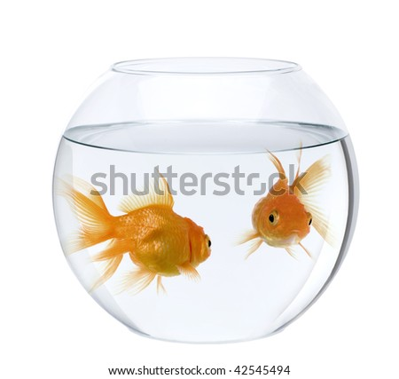 Two goldfish in fish bowl, in front of white background - stock photo