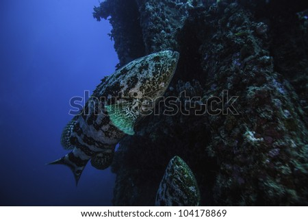 Two Goliath Groupers swimming by a crane operators tower on the USS Spiegel Grove in Key Largo, Florida - stock photo