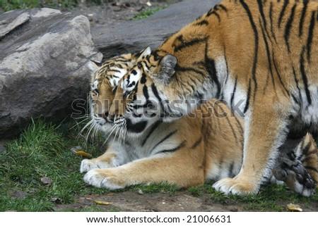 Two gorgeous orange tigers cuddling. - stock photo