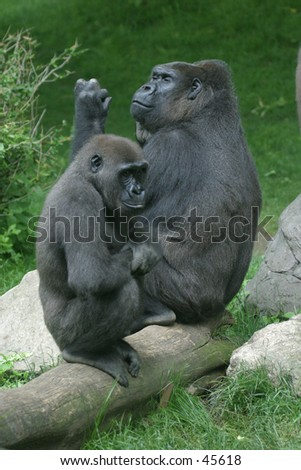 Two gorillas contemplating - stock photo