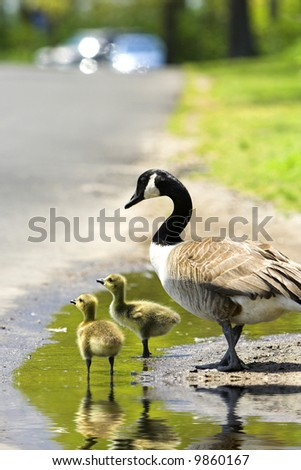 Two goslings with an adult goose in a puddle with focus on front gosling - stock photo