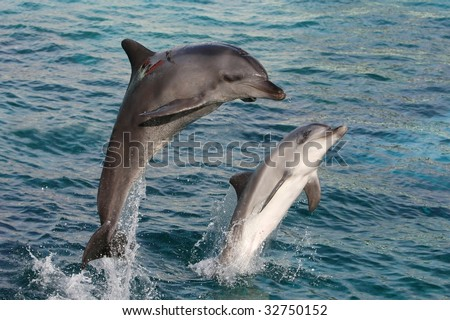 Two graceful bottlenose dolphins bow jumping out of the water - stock photo