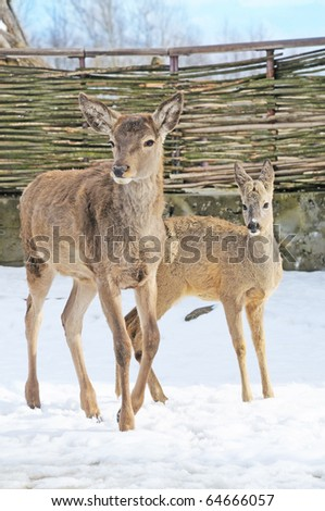 two graceful roe stay on snow - stock photo