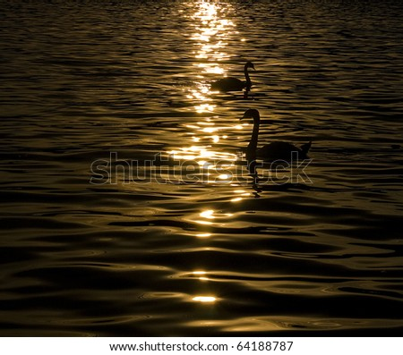 Two Graceful Swan on a lake - stock photo