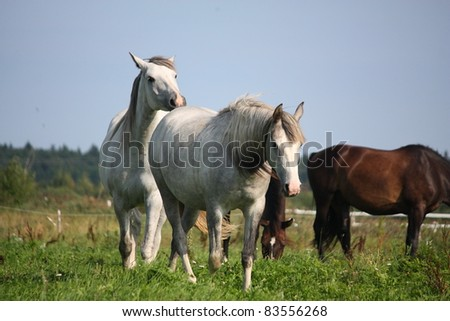 Two gray horses at the field - stock photo