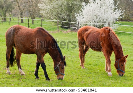Two grazing red horses - stock photo