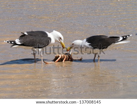 Two Great Black-backed Gulls eating a crab. - stock photo