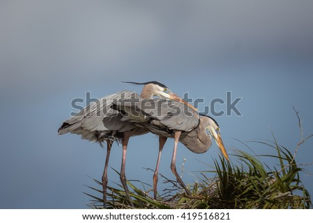 Two great blue herons on nest - stock photo