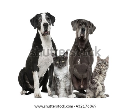 Two Great Dane and two Maine Coon,  isolated on white