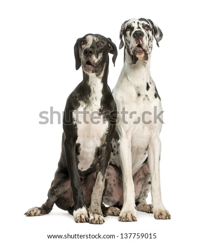Two Great Danes sitting and looking away, 1 year old,  isolated on white - stock photo