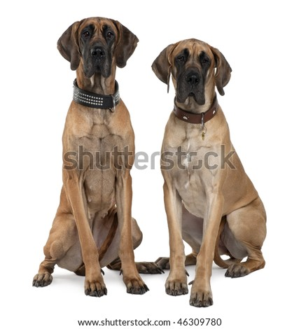 Two Great Danes, 1 year old, sitting in front of white background - stock photo