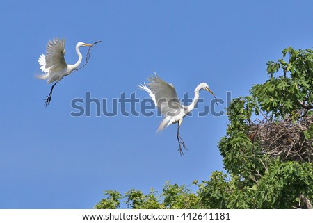 Two Great Egret birds (Ardea alba) building a nest at the egret and heron rookery on Wildwing Pond at Kensington Metropark, Milford, Michigan, USA. - stock photo