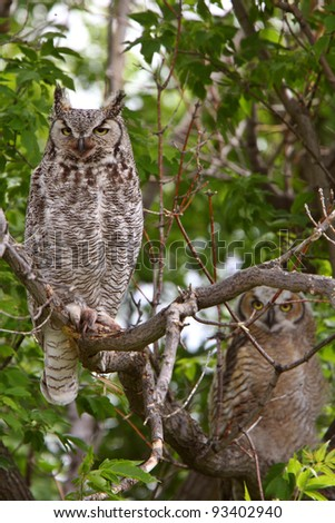 two Great Horned Owl fledglings perched in tree - stock photo
