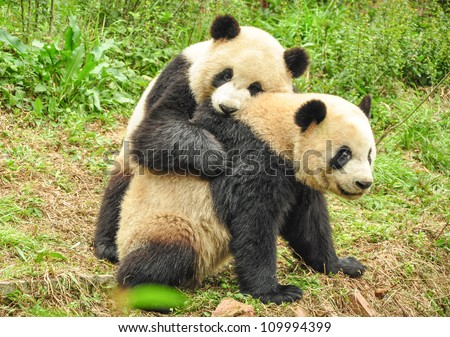 Two Great Pandas playing together - stock photo