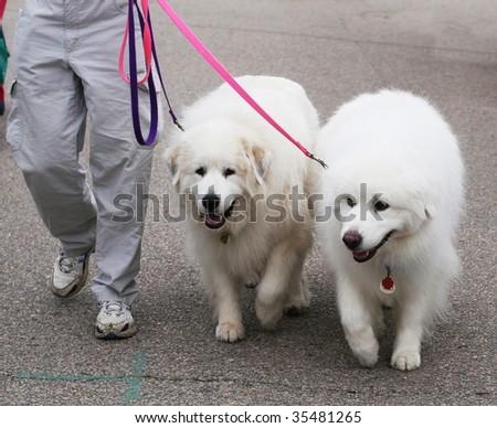 two great pyenees dogs - stock photo