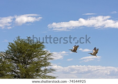 Two Great White Pelicans (Pelecanus onocrotalus) in profile fly towards acacia tree against sky background. - stock photo