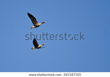 Two Greater White-Fronted Geese Flying in a Blue Sky - stock photo