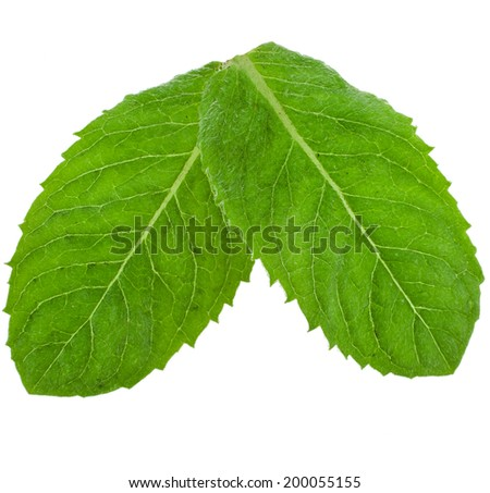 Two green fresh leaves mint isolated  - stock photo
