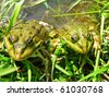 Two green frogs - stock photo