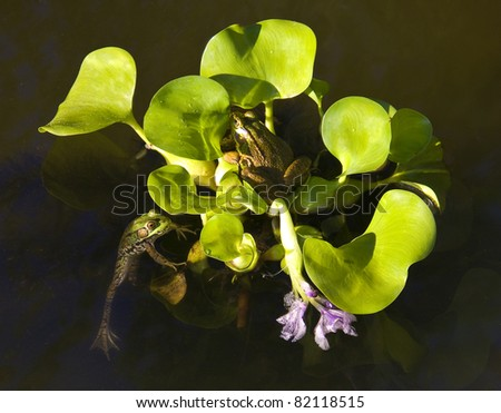 Two Green Frogs on water plant - stock photo