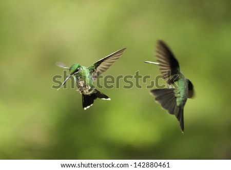 Two green hummingbirds appear to be fighting while in flight. - stock photo