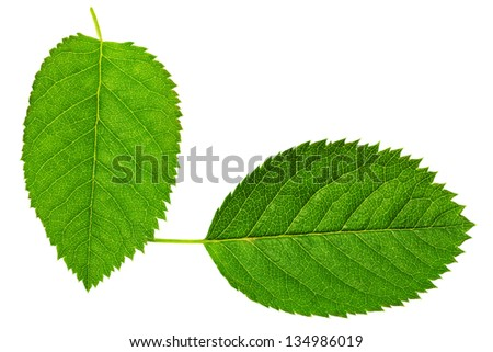 Two   green leaf isolated on white background. - stock photo