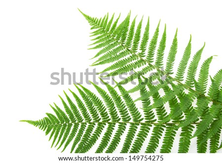 Two green leaves of fern isolated on white - stock photo