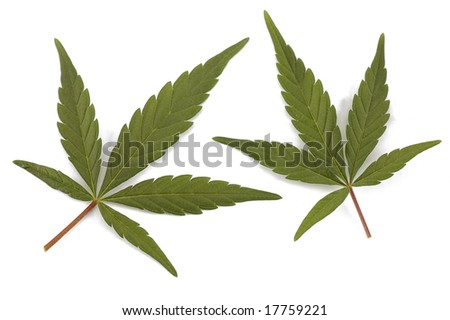 Two green leaves of hemp also known as cannabis or marijuana isolated - stock photo