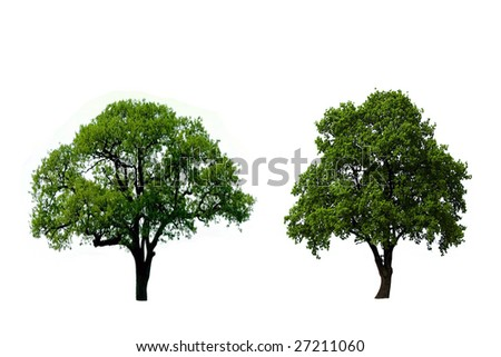 Two green oak tree isolated on white - stock photo