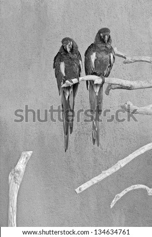 Two green parrot sitting on a branch - Bali, Indonesia (black and white) - stock photo