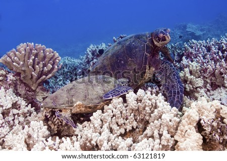 Two green sea turtles on a bed of coral - stock photo