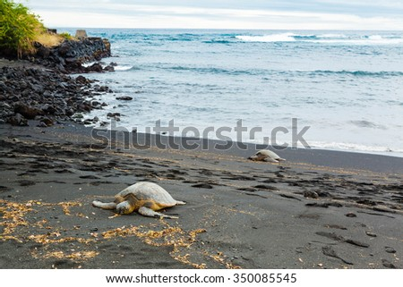 Two green sea turtles resting on a volcanic black sand beach